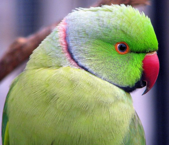 An African Ringneck Parakeet looks coyly over his shoulder.