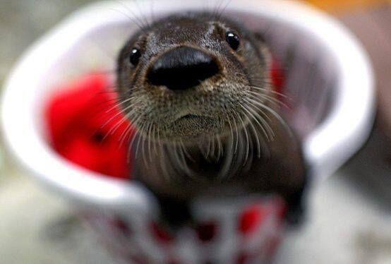 An adorable otter pokes his head out of a bowl.