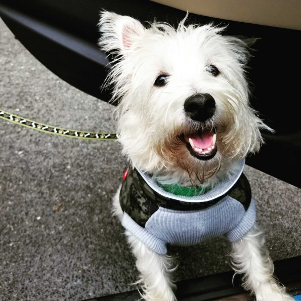 a white dog with a black nose wearing a vest and a bIG DOGGY SMILE