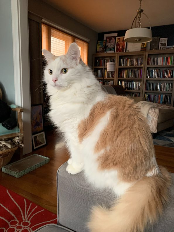 Linus who is white and orange and massive, looking very regal