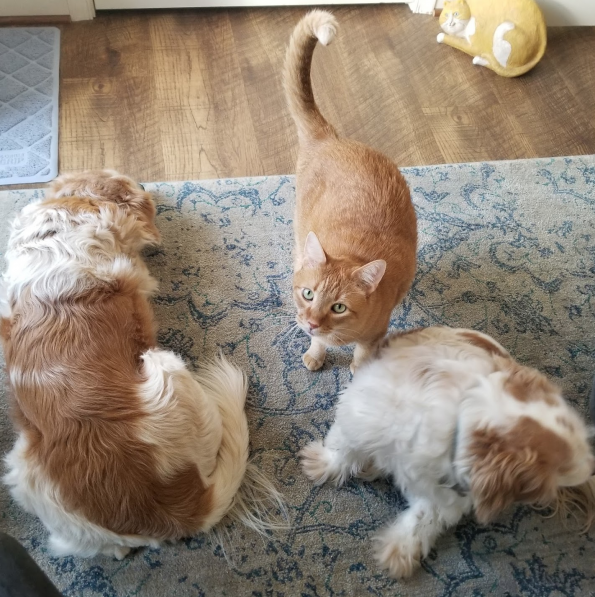 Buzz, Wilbur the cat, and Zeb on the floor of my office waiting for me to do something that invovles petting them