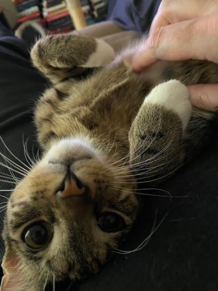 a grey tabby with big eyes upside down having his chest rubbed while looking at the camera