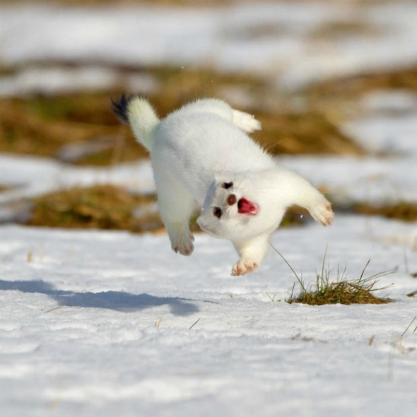 A white ferret or ermine with his mouth open in a big smile twisting in mid-air