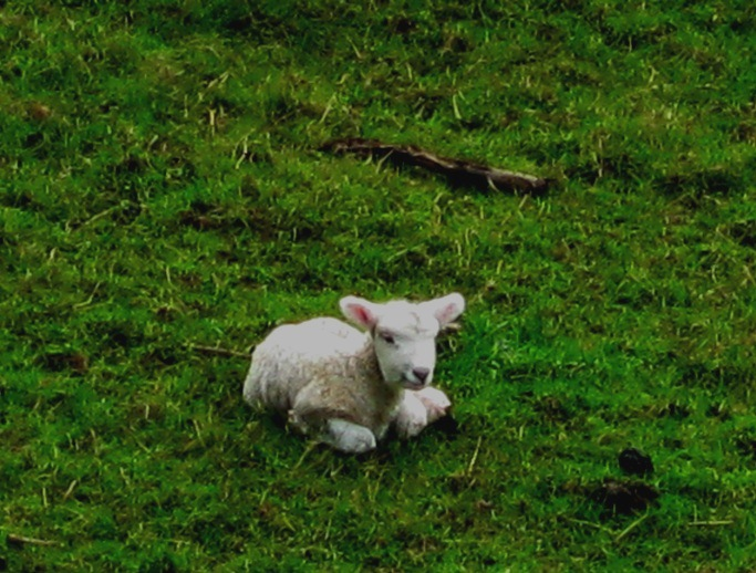 Close up of a sleepy lamb on some hella green grass - photo by Nalini Singh