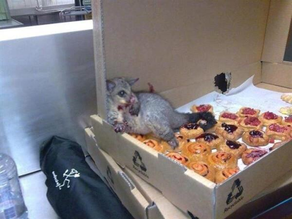 Possum surrounded by a box of pastries