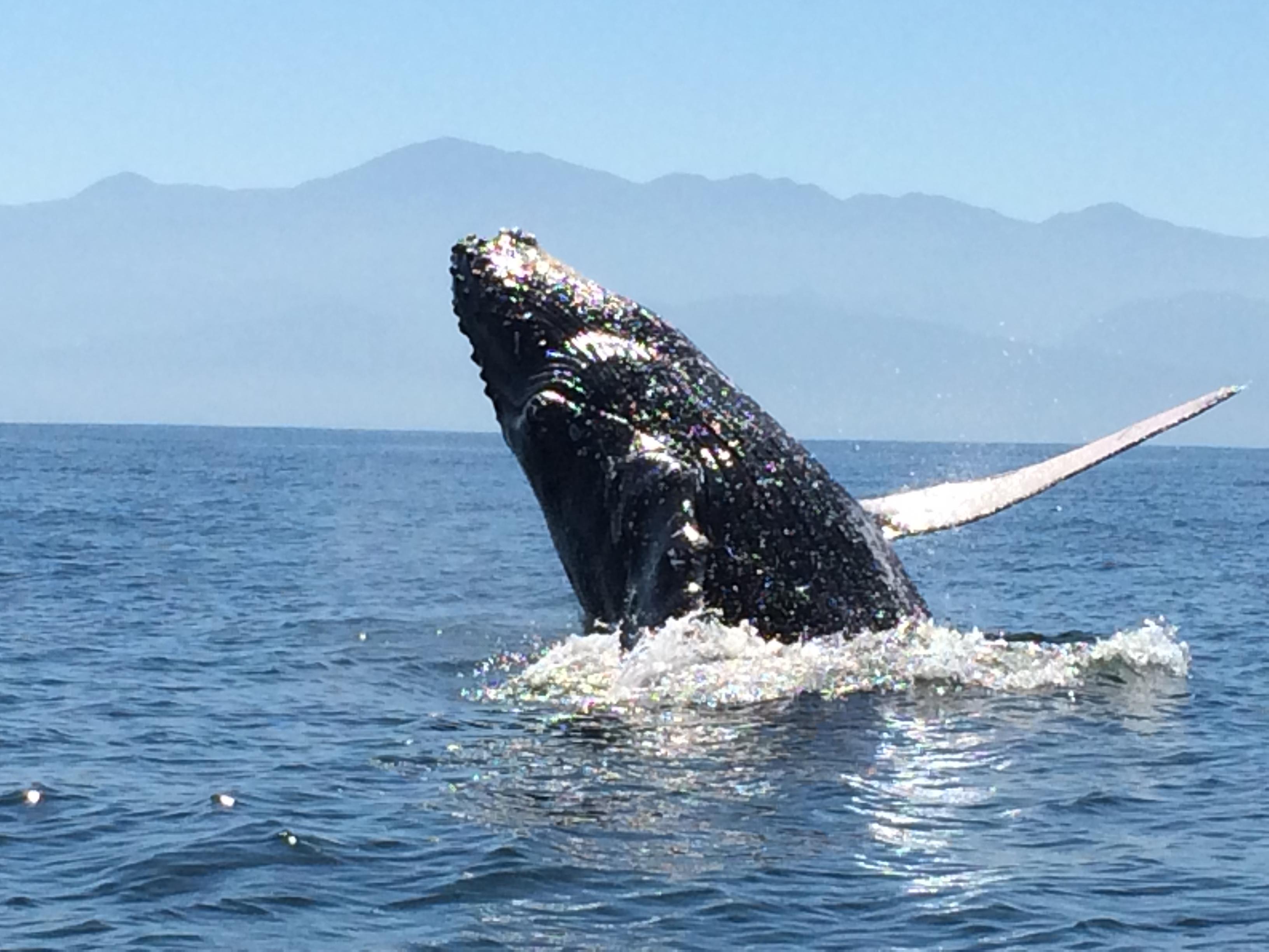 Whale breaching ocean